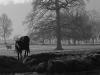 Vache en pleine Suisse Normande, entre brume et glace