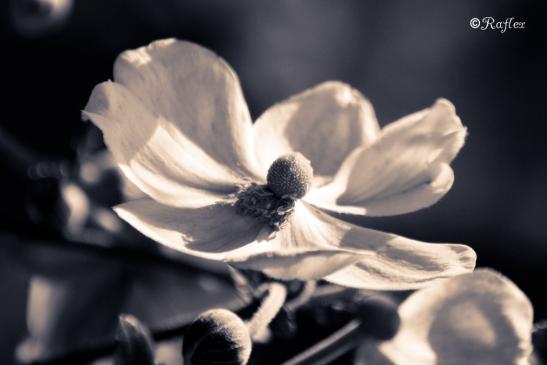 Fleur de pétales