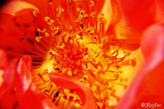 Fleur de feu.
